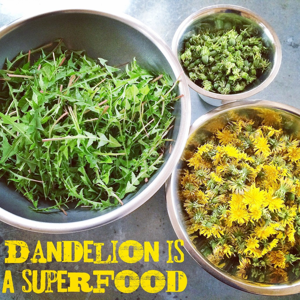 The dandelion plant can be eaten in entirely; leaves, buds and flowers